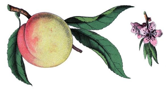 Peach & Blossom
